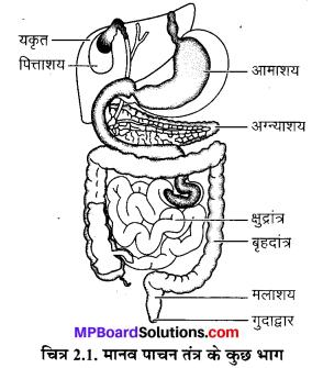 MP Board Class 7th Science Solutions Chapter 2 प्राणियों में पोषण 2