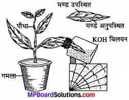 MP Board Class 11th Biology Solutions Chapter 13 उच्च पादपों में प्रकाश-संश्लेषण - 11