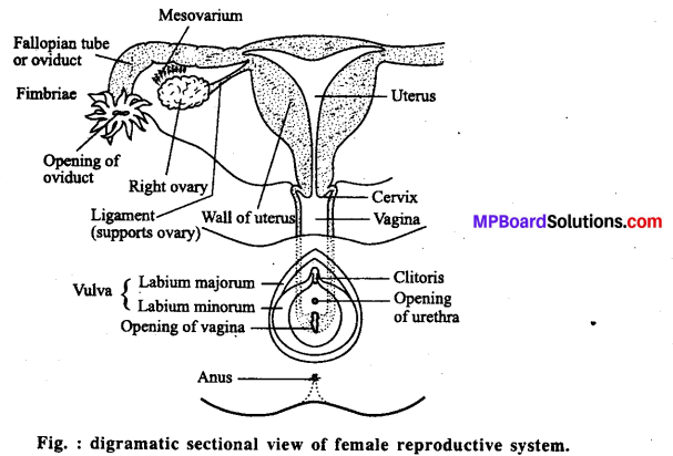 MP Board Class 12th Biology Solutions Chapter 3 Human Reproduction 2