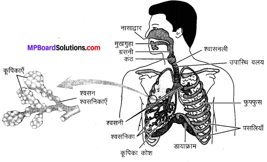 MP Board Class 10th Science Solutions Chapter 6 जैव प्रक्रम 16