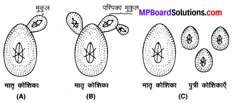 MP Board Class 10th Science Solutions Chapter 8 जीव जनन कैसे करते है 6