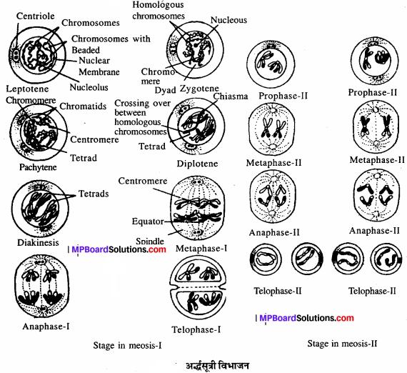 MP Board Class 11th Biology Solutions Chapter 10 कोशिका चक्र और कोशिका विभाजन - 6