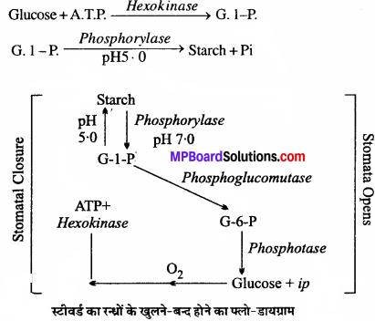 MP Board Class 11th Biology Solutions Chapter 11 पौधों में परिवहन - 10