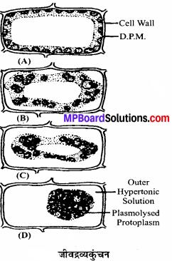 MP Board Class 11th Biology Solutions Chapter 11 पौधों में परिवहन - 3