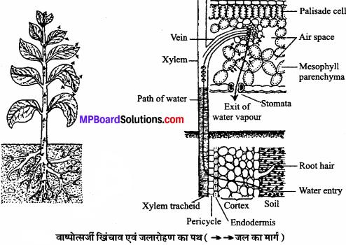 MP Board Class 11th Biology Solutions Chapter 11 पौधों में परिवहन - 6