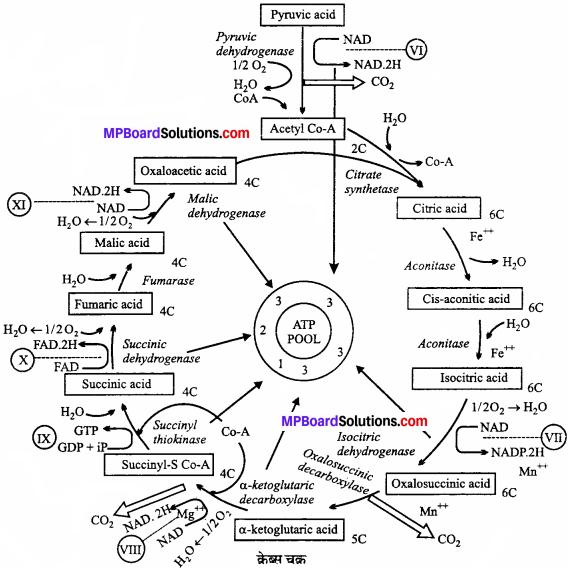 MP Board Class 11th Biology Solutions Chapter 14 पादप में श्वसन - 2