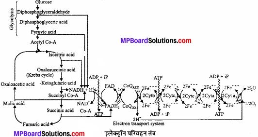 MP Board Class 11th Biology Solutions Chapter 14 पादप में श्वसन - 3