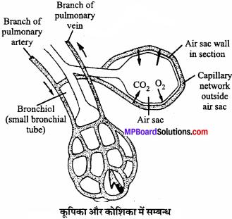 MP Board Class 11th Biology Solutions Chapter 17 श्वसन और गैसों का विनिमय - 6