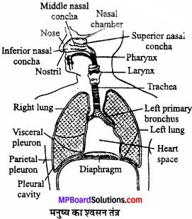 MP Board Class 11th Biology Solutions Chapter 17 श्वसन और गैसों का विनिमय - 7