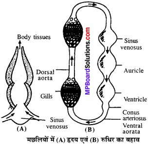 MP Board Class 11th Biology Solutions Chapter 18 शरीर द्रव तथा परिसंचरण - 4