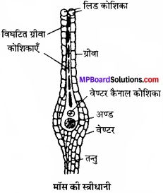 MP Board Class 11th Biology Solutions Chapter 3 वनस्पति जगत - 8