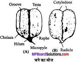 MP Board Class 11th Biology Solutions Chapter 5 पुष्पी पादपों की आकारिकी - 3