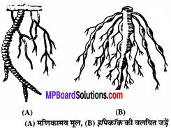 MP Board Class 11th Biology Solutions Chapter 5 पुष्पी पादपों की आकारिकी - 37
