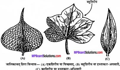 MP Board Class 11th Biology Solutions Chapter 5 पुष्पी पादपों की आकारिकी - 48