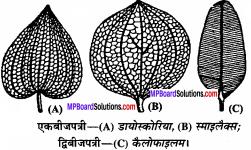 MP Board Class 11th Biology Solutions Chapter 5 पुष्पी पादपों की आकारिकी - 50