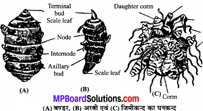 MP Board Class 11th Biology Solutions Chapter 5 पुष्पी पादपों की आकारिकी - 8