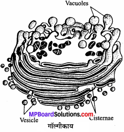 MP Board Class 11th Biology Solutions Chapter 8 कोशिका जीवन की इकाई - 5