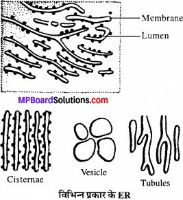 MP Board Class 11th Biology Solutions Chapter 8 कोशिका जीवन की इकाई - 6