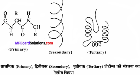 MP Board Class 11th Biology Solutions Chapter 9 जैव अणु - 5
