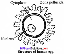 MP Board Class 12th Biology Important Questions Chapter 3 Human Reproduction 3