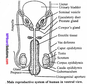 MP Board Class 12th Biology Important Questions Chapter 3 Human Reproduction 4