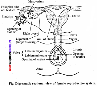 MP Board Class 12th Biology Important Questions Chapter 3 Human Reproduction 5