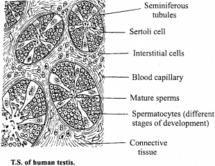 MP Board Class 12th Biology Important Questions Chapter 3 Human Reproduction 6