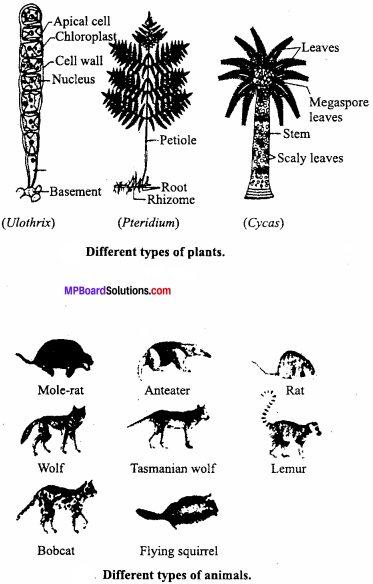 MP Board Class 12th Biology Important Questions Chapter 7 Evolution 7