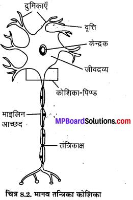 MP Board Class 8th Science Solutions Chapter 8 कोशिका - संरचना एवं प्रकार्य 3