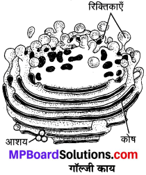 MP Board Class 9th Science Solutions Chapter 5 जीवन की मौलिक इकाई image 7