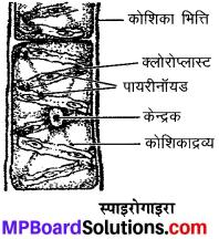 MP Board Class 9th Science Solutions Chapter 7 जीवों में विविधता image 8