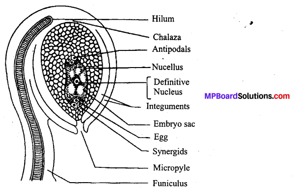 MP Board Class 12th Biology Solutions Chapter 2 Sexual Reproduction in Flowering Plants 1