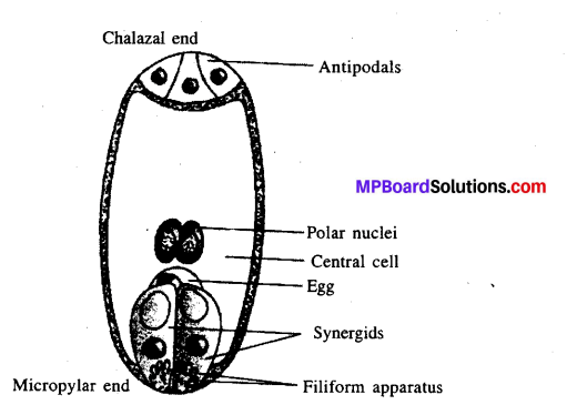 MP Board Class 12th Biology Solutions Chapter 2 Sexual Reproduction in Flowering Plants 2