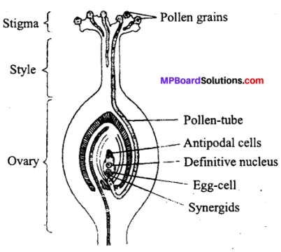 MP Board Class 12th Biology Solutions Chapter 2 Sexual Reproduction in Flowering Plants 5