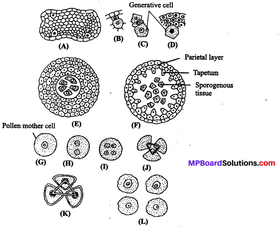 MP Board Class 12th Biology Solutions Chapter 2 Sexual Reproduction in Flowering Plants 8
