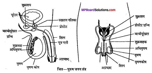 MP Board Class 12th Biology Solutions Chapter 3 मानव जनन 1