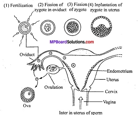MP Board Class 12th Biology Solutions Chapter 3 मानव जनन 12