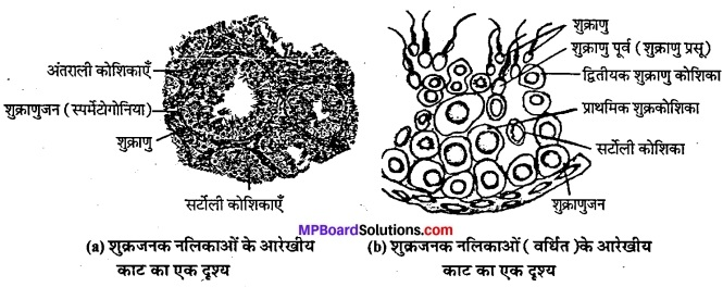MP Board Class 12th Biology Solutions Chapter 3 मानव जनन 3