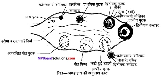 MP Board Class 12th Biology Solutions Chapter 3 मानव जनन 7