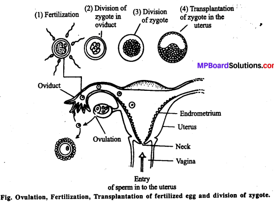 MP Board Class 12th Biology Solutions Chapter 3 Human Reproduction 13