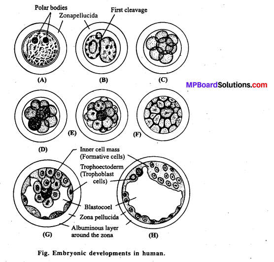 MP Board Class 12th Biology Solutions Chapter 3 Human Reproduction 14