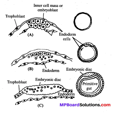 MP Board Class 12th Biology Solutions Chapter 3 Human Reproduction 15