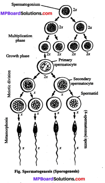 MP Board Class 12th Biology Solutions Chapter 3 Human Reproduction 4