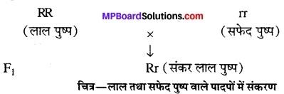 MP Board Class 12th Biology Solutions Chapter 5 वंशागति और विविधता के सिध्दांत 1