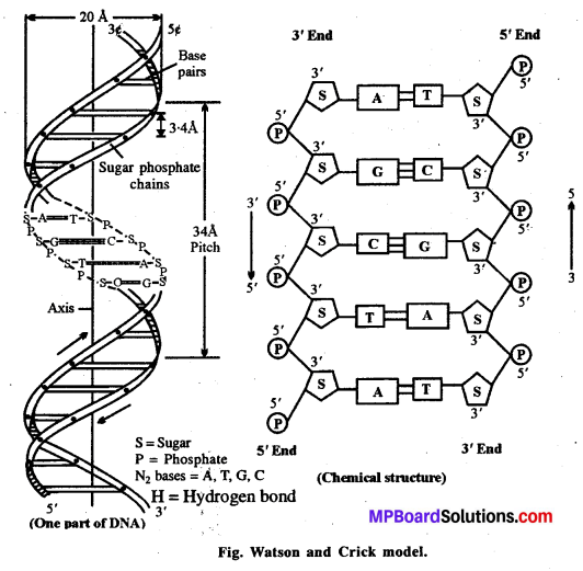 MP Board Class 12th Biology Solutions Chapter 6 Molecular Basis of Inheritance 12