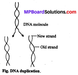 MP Board Class 12th Biology Solutions Chapter 6 Molecular Basis of Inheritance 14